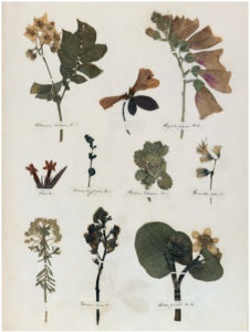 A Dickinson Herbarium containing a number of flowers
