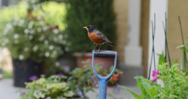 a robin sits on a blue shovel surrounded by flower pots