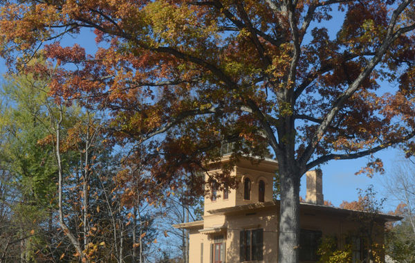 The Evergreens house behind a huge tree in autumn