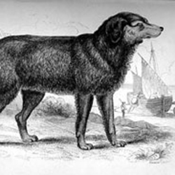 an illustration of a Newfoundland dog