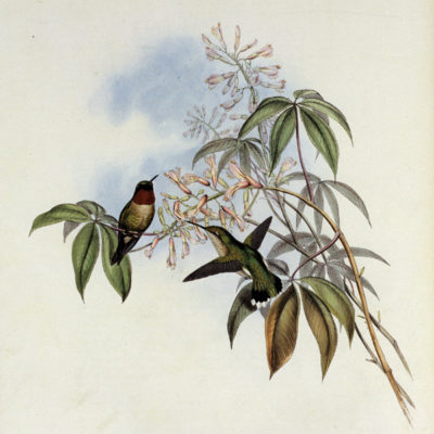 Period illustration of hummingbirds