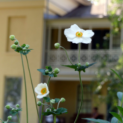 Two Anenomes grow in front of the Homestead