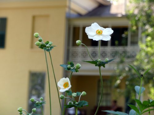 Anemone grows in the garden beside the Homestead