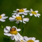 honeybees on white asters